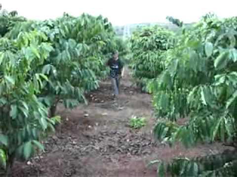 các biện pháp nhằm khắc phục hồi cây caphe sau thu hoạch NNNT 17-11-11.wmv