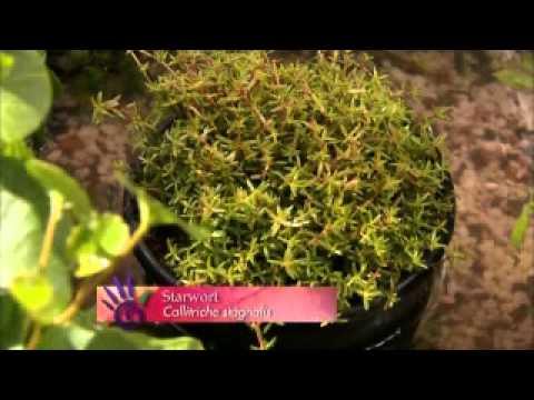 The Garden Gurus - Edible Water Plants for Ponds