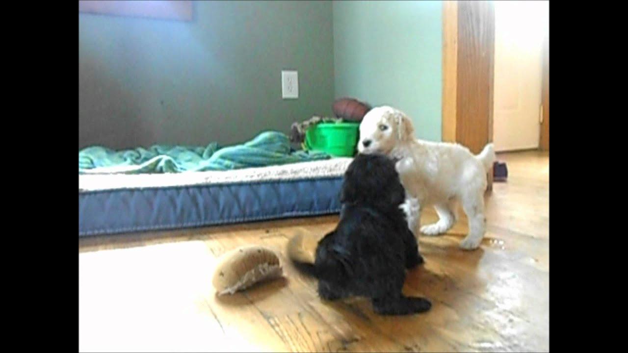 Scoodle Or Scottie Poo The Scottish Terrier Poodle Mix