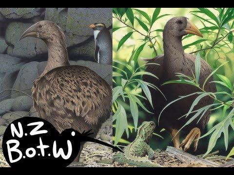 Adzebill - New Zealand Bird Of The Week