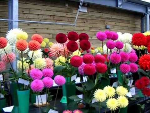 How To Grow Dahlias Scottish Adventure 2012 Youtube