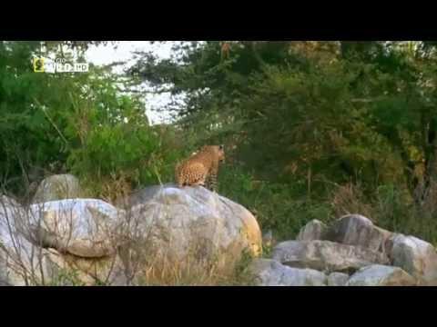 Вопрос: Зачем обезьяны воруют львят?