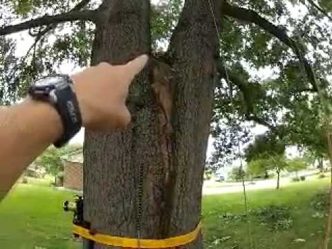 Nrv Tree Care Cabling Bracing By Extreme Tree Company