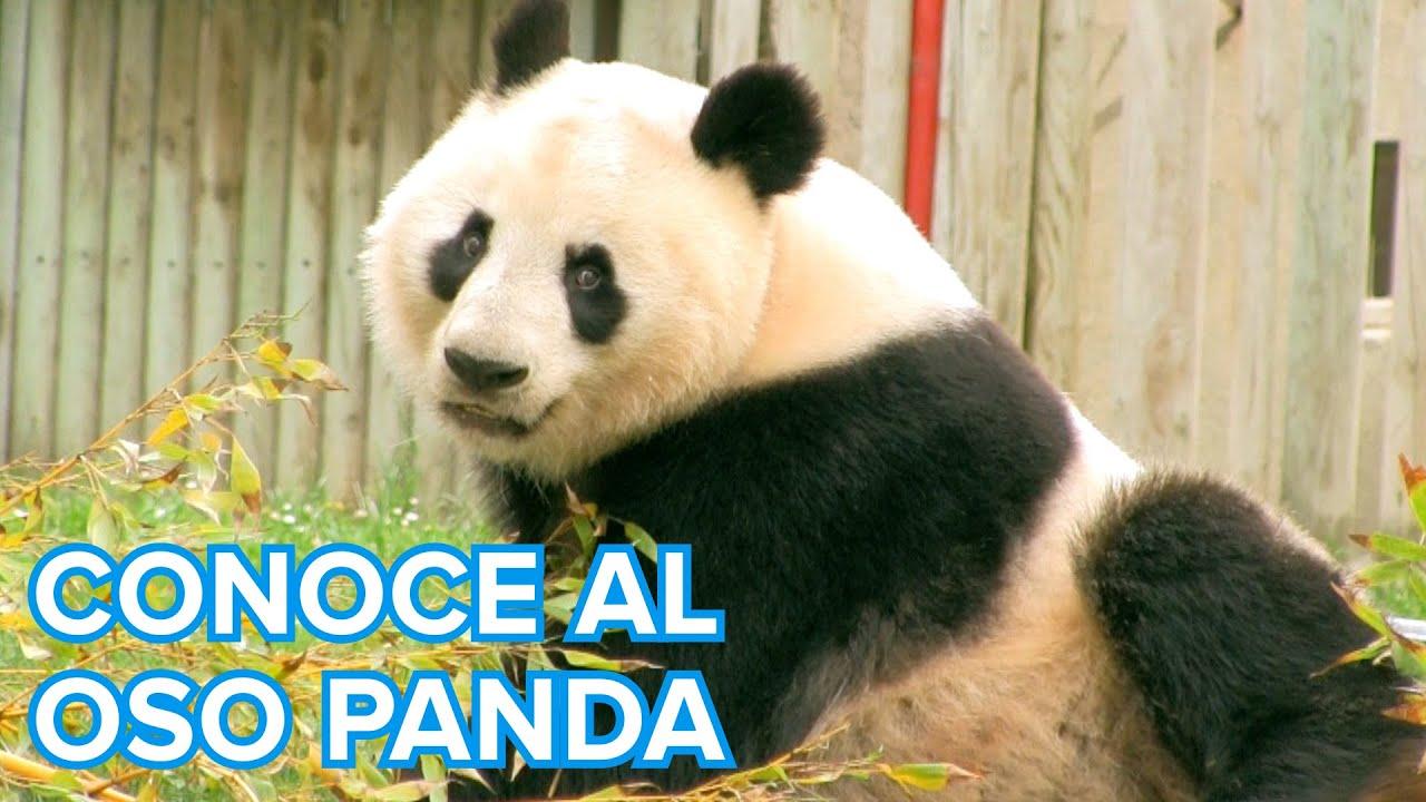 Cómo viven los osos Panda | Vídeos de animales para niños