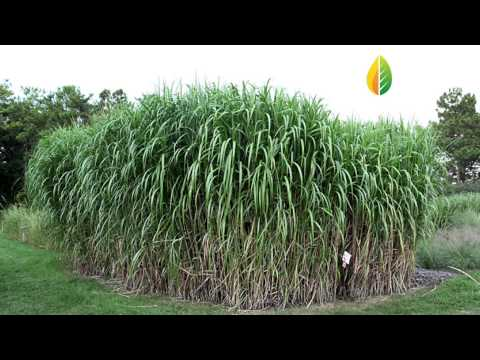 Giant Carajas Grass (Elephant Grass) with Energy Crops Brazil