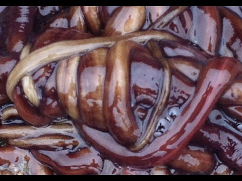 Bootlace Worm, LONGEST creature on earth!