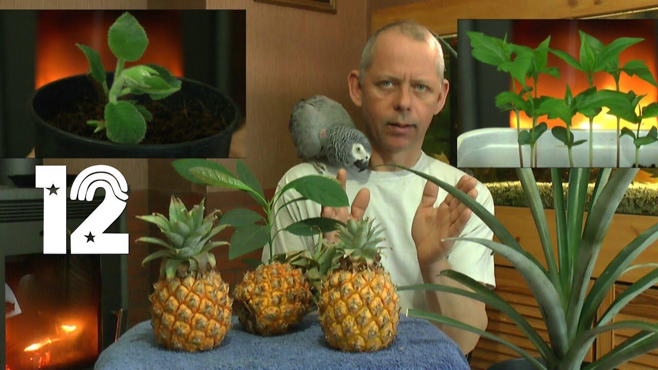 ananas die s mlinge und wie geht es weiter mit den exoten und anderen pflanzen teil 12 youtube. Black Bedroom Furniture Sets. Home Design Ideas