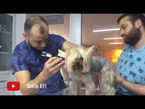 Yorkshire Terrier'in Harika Değişimi-Amazing Transformation of a Yorkshire Terrier Dog Breed