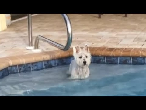 Eager dog desperately wants to jump into pool