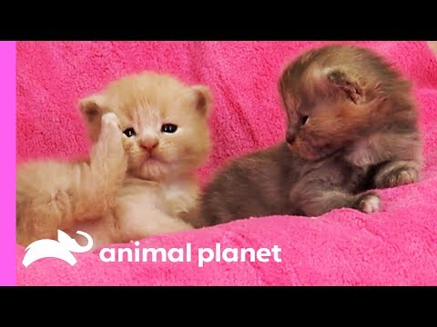 Curious Calico Kittens Explore Their Dog Grooming Salon   Too Cute!