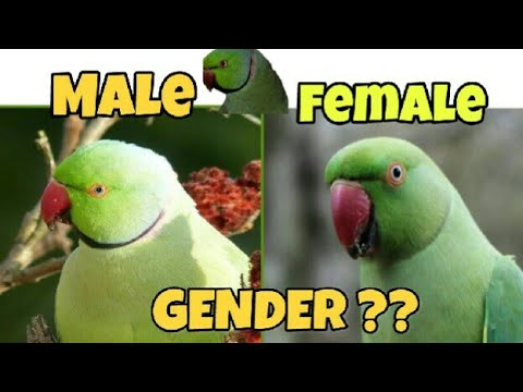 Difference between male and female ringneck parrot/parrot mania