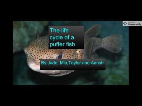 The Lifecycle Of A Puffer Fish