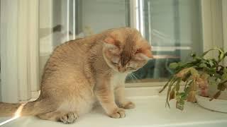 Акира СуперМуррКэт, кот, золотая шиншилла, продажа.