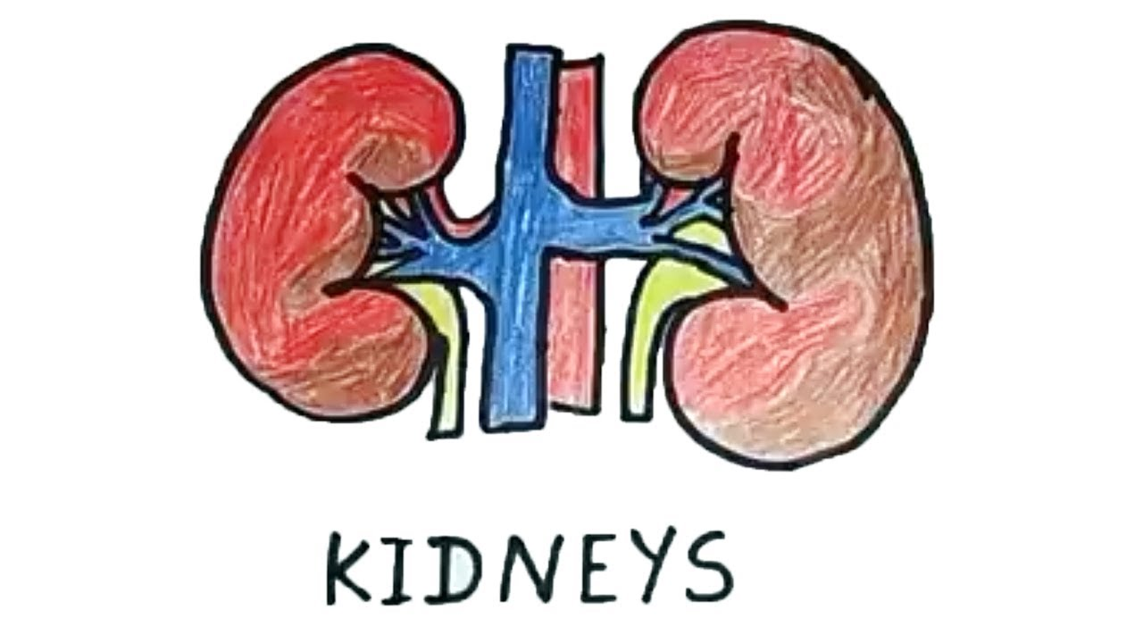 How To Draw A Kidney Human Organs Drawing Easy Step By Step