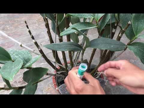 Kích hoa kiều tím miền trung chơi tết|Phong Lan Rừng TV