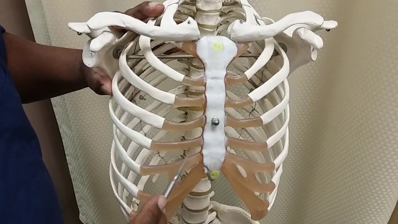 Sternum Wcostal Cartilage Ribs Youtube