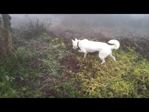 Pungsan Dog  The name 'Ga Eul'  my dog   반려견
