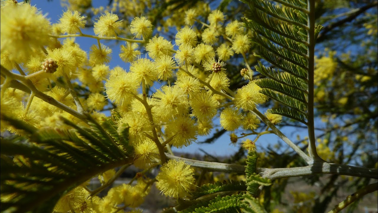 Le mimosa en fleurs un arbuste youtube - Arbuste fleurs jaunes printemps ...