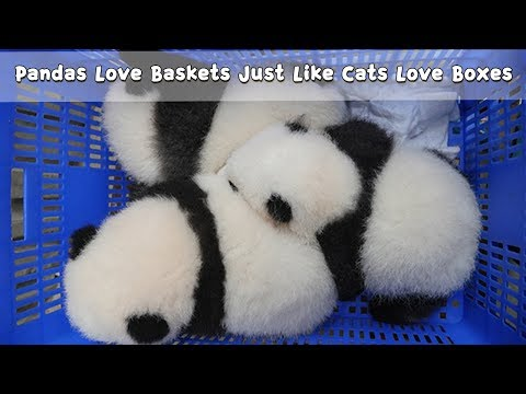 Pandas Love Baskets Just Like Cats Love Boxes | IPanda