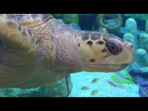 Loggerhead Sea Turtle 2 - Oklahoma Aquarium - Nov 2017 HD