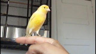 Canario cantando na mao