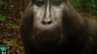 Repeat youtube video Chattering Black-crested Macaque | WCS Indonesia