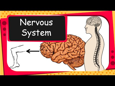 science - our nervous system and voluntary - involuntary actions - english
