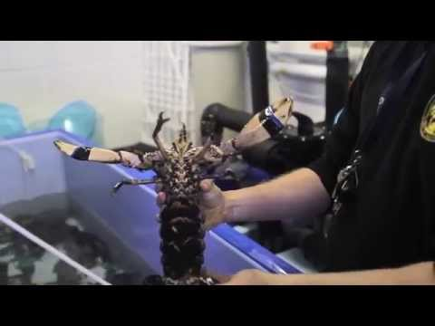 The Lobster Life Cyle Process and Release
