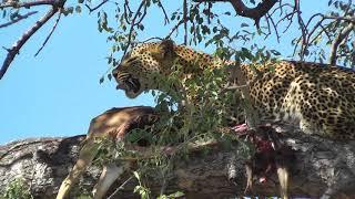 Leopard eating impala