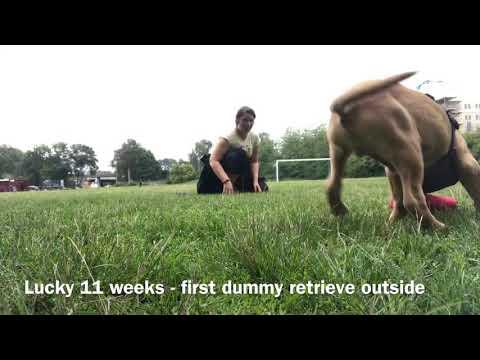 Lucky 11 weeks retrieving