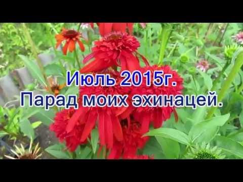 видео: Июль 2015г  Парад моих эхинацей
