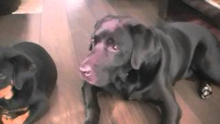 Check out the funny noises the Labradors making while playing with our Rottie puppy!