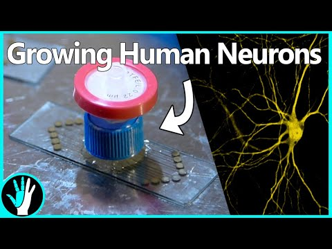 Growing Human Neurons Connected to a Computer