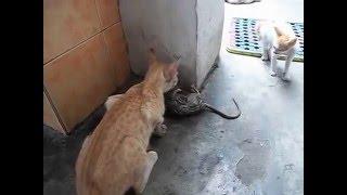 Кот убил огромную крысу