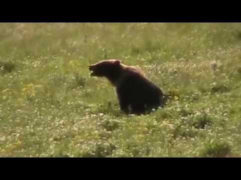 Grizzly grazing in meadow at Yellowstone National Park