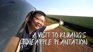 A Visit to Kluang's Pineapple Plantation [Travel Vlog 5] 参观居銮菠萝种植园