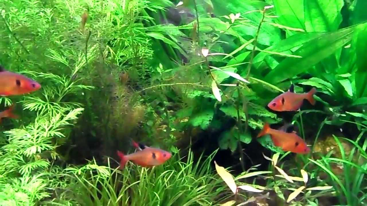 Fish for amazon aquarium - How To Grow Amazon Swords My Experience And Knowledge With Sword Plants Youtube