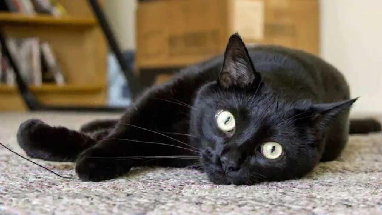 Кот порода бомбейская