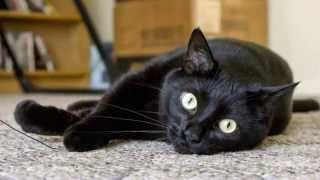 Бомбейская кошка, Породы кошек, уход, описание породы