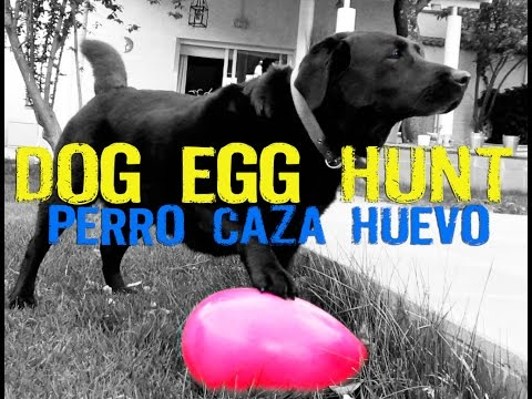 Dog egg hunt - Labrador caza running egg