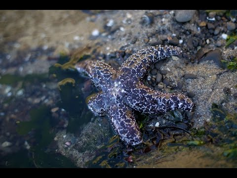 Millions Of Starfish Along Pacific Coast Are Dying Due To A Mysterious Disease