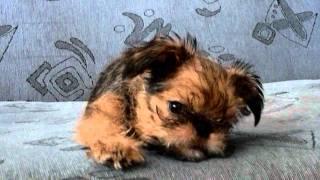 Брюссельский гриффон(На видео Нашему Яшке уже 2.5 месяца. Подробнее можно про него почитать здесь http://dom3d.livejournal.com/, 2011-05-31T17:11:47.000Z)