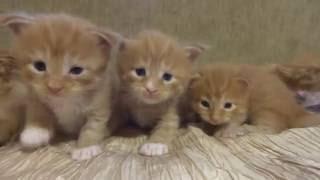 Котята мейн-кун красного окраса - 3 недели . Смешные котята