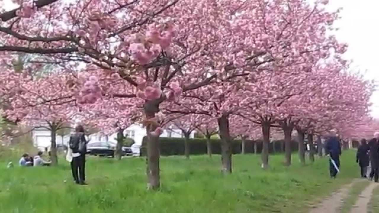14. japanisches Kirschblütenfest Hanami 2015 in Teltow