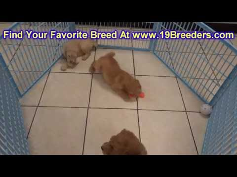 GoldenDoodle, Puppies, For, Sale, In, Louisville,County, Kentucky, KY,  Richmond, Florence, Georgeto