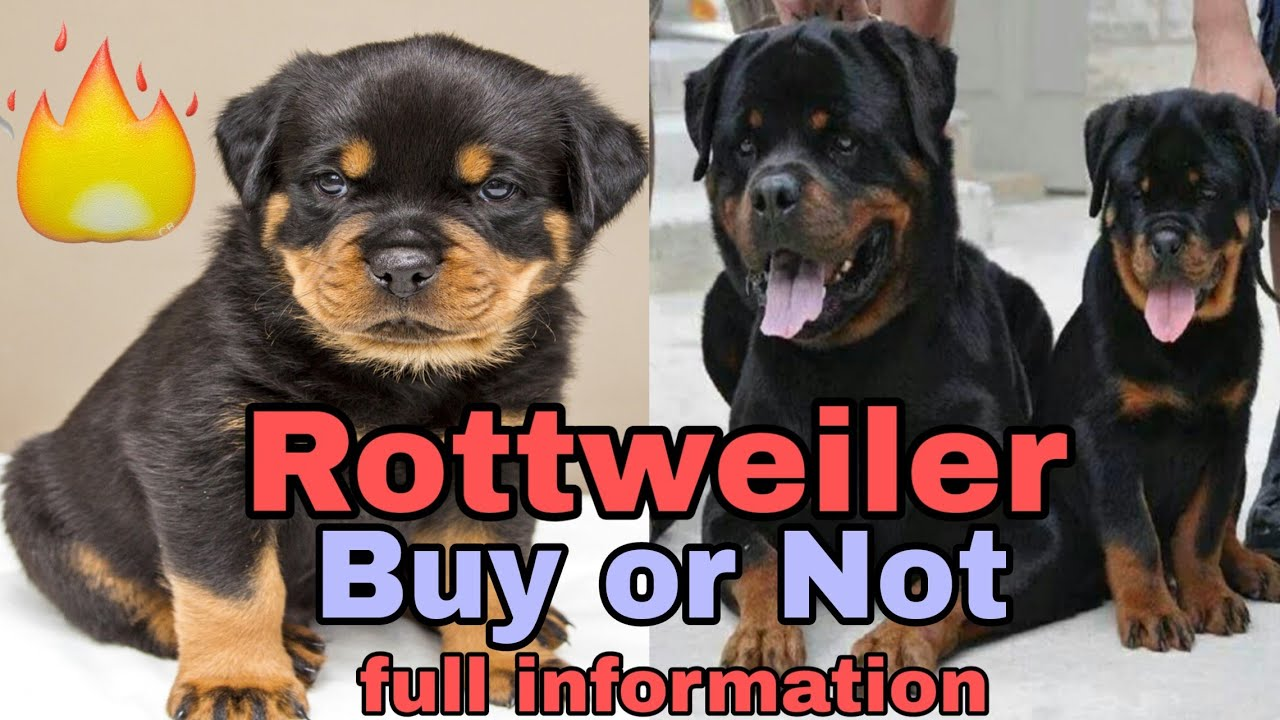 Rottweiler Dog Price Buy Or Not Dog Price List In India Price List