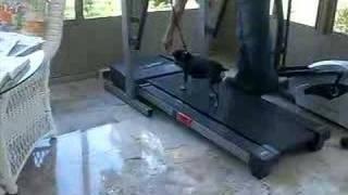 Min Pin On The Treadmill