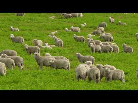 Lost Sheep reh