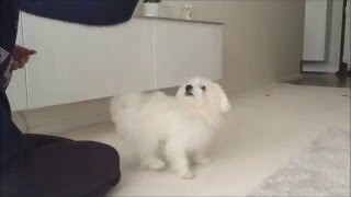 Penny  5 months old Maltese doing tricks