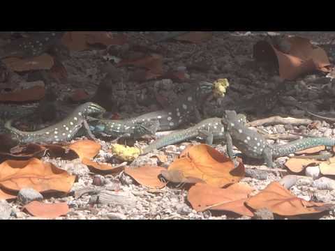 Klein Curaçao - Iguanas